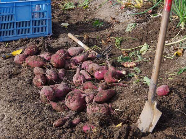 Suesskartoffelernte