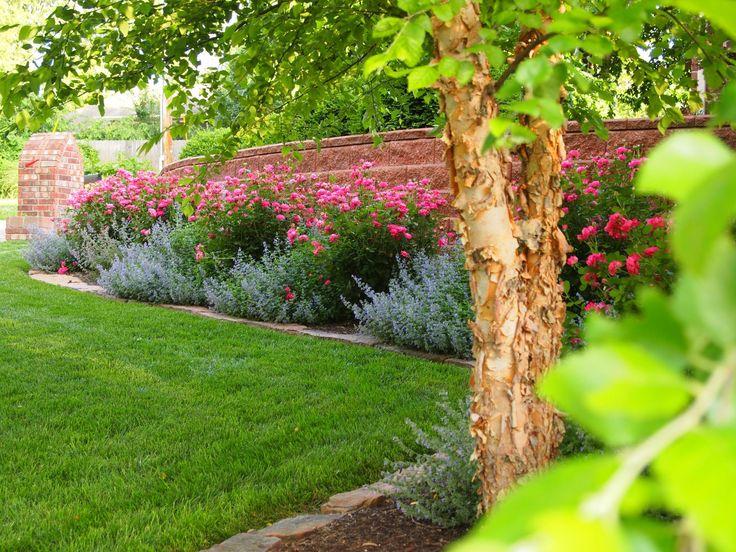 Best Knockout Rose Tree Ideas On Pinterest Rose Trees