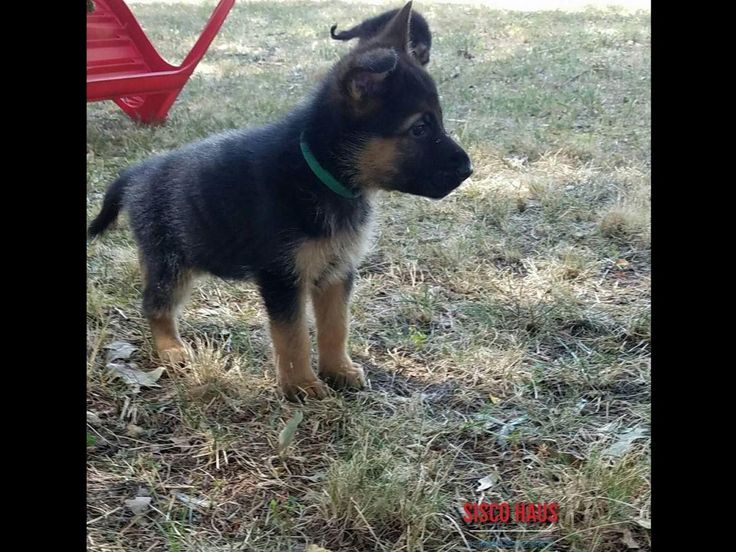 AKC German Shepherd Puppies, Litter born July 16, 2016   West German Import Lines.    Dam is Venus of Sisco Haus, she is a highly intelligent female with a wonderful outgoing temperament from Konigtum German Shepherds. OFA HD/ED  Excellent/normal.          Sire is V Waldo von der Hohen Warth IPO3 Kkl lbz, a medium sized and powerful male that brings beauty, temperament, and powerful work to this breeding. SV HD/ED Fast  normal/normal.  These puppies would be excellent home companions, IPO…