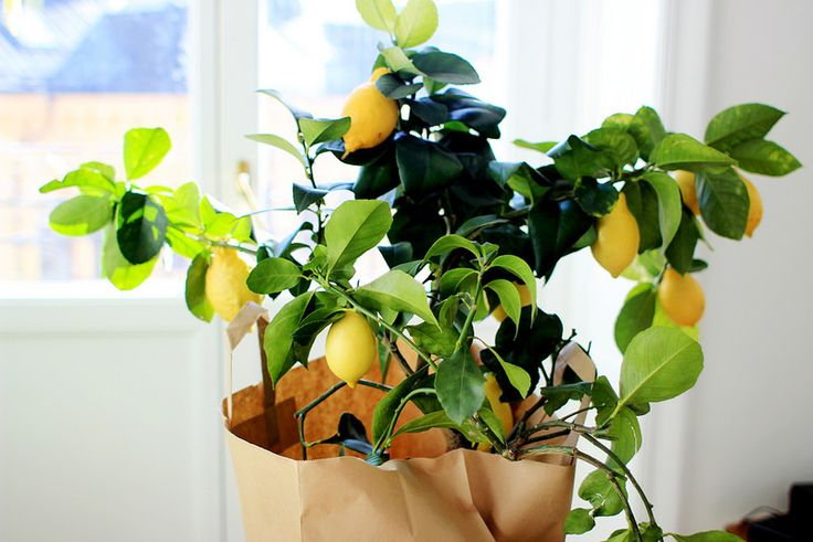 citronträd och små ekar.