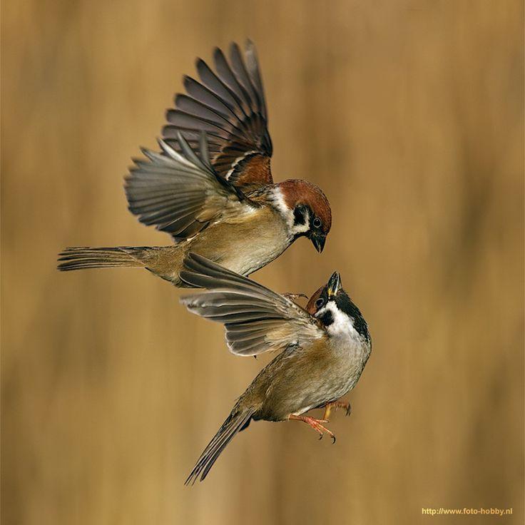 Eurasian Tree Sparrow ( L: Passer montanus / N: Pilfink )