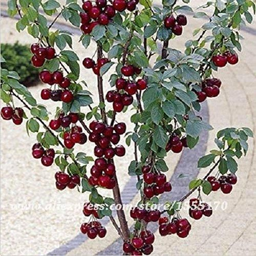 20 Pcs / Pack Sweet Sylvia Upright Cherry (prunus Avium) Self-fertile Dwarf Tree Seeds