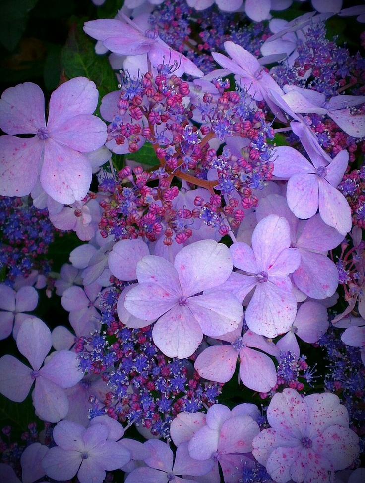 Hydrangea serrata 'Bluebird'.  Zone 5 4'-6' H x W Blooms spring - summer part shade/part sun