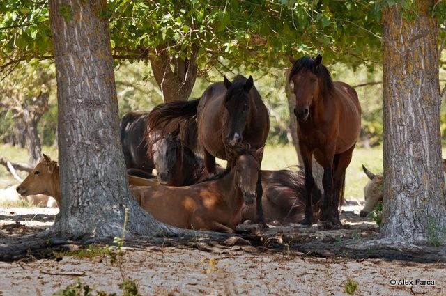 Wild horses, The Delta of the Danube, Romania