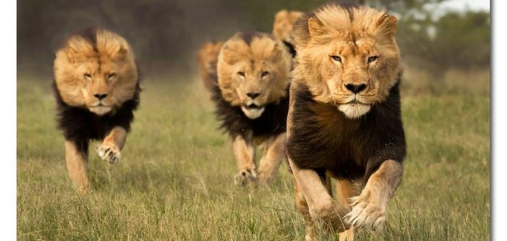 Lions running for food | Photography | Pinterest | Running ...