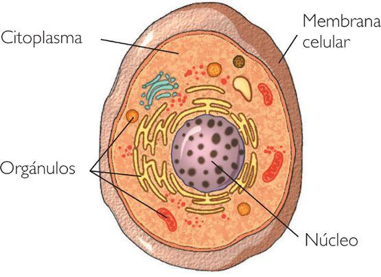 cienciasnaturales1cssa: Diferencias entre células procariotas y células eucariotas