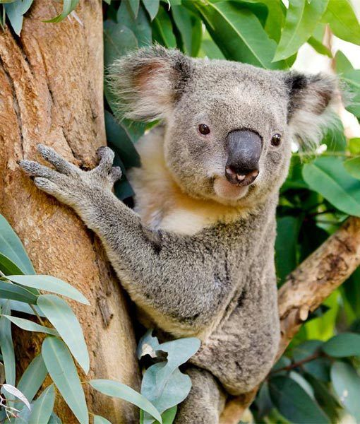 In Australia at the Perth Zoo, Chilli the male koala will hopefully mate with one of the female koalas, bringing some joeys in the coming months. We'll keep our fingers crossed!