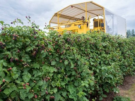 Boysenberries New Zealand has wrapped up its harvest earlier than normal this year, with volumes around 20 per cent up on last year's season.General Manager Julian Raine says the very early start.....