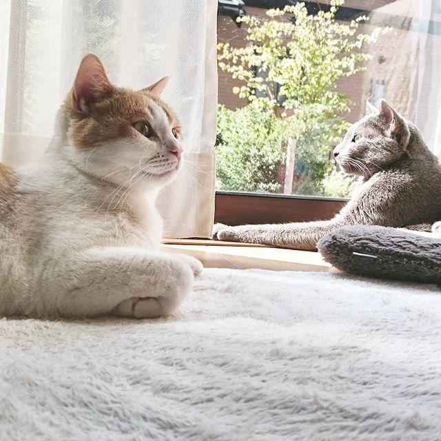 アランとマリー🐱🐹 久々にお天気やね☀☀☀ 最高やが❗☺☺☺ お茶でも入れますか🍵🍵🍵 #russianblue  #greycats  #scottish  #cats  #instagram  #instaclube  #instacat  #beautifulcat  #fantastic  #pairscat  #silent  #twocats  #ロシアンブルー  #スコティッシュ  #インスタキャット  #いやし  #インスタネコ  #インスタクラブ  #夫婦  #仲良し #飼い猫  #愛猫  #ねこ部  #ネコスタ  #猫スタ