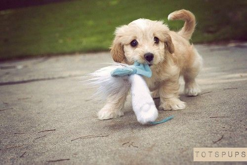 adorable!: Puppies, Toy, Animals Dogs, Pet, Puppys, Adorable, Baby Dogs, Baby Animals, Things