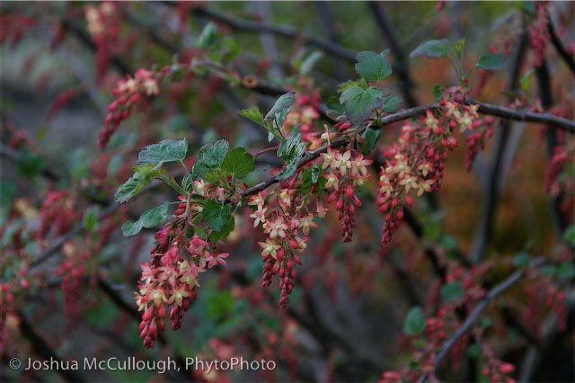 Cistus Nursery   Ribes gordonianum