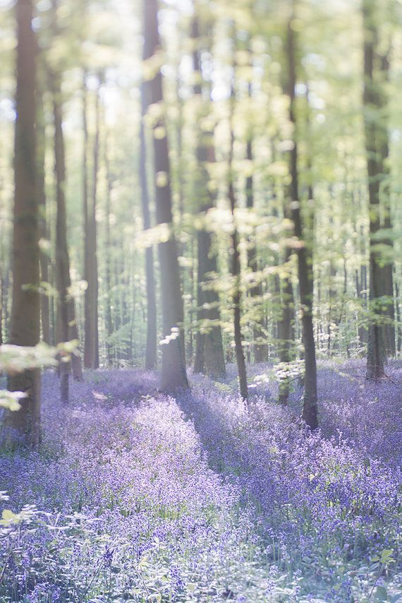 Nature Photograph Bluebell Wood Landscape