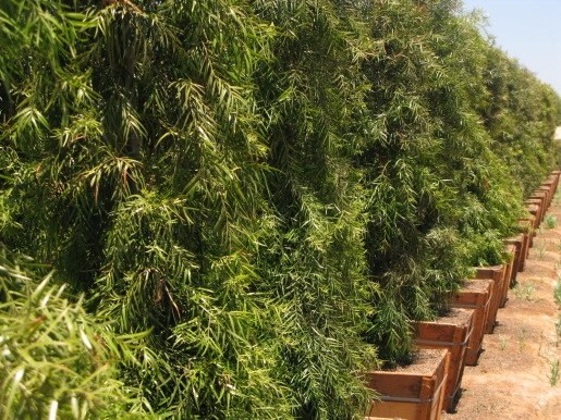 Podocarpus Gracilior Are Most Commonly Used As A Screen Or