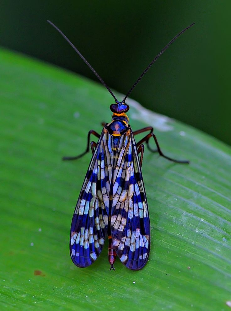 this Scorpion fly is beautiful and the photo shows it it. i love the how the photographer was able to get the pattern to pop like that and also how the natural lines flow through the photos