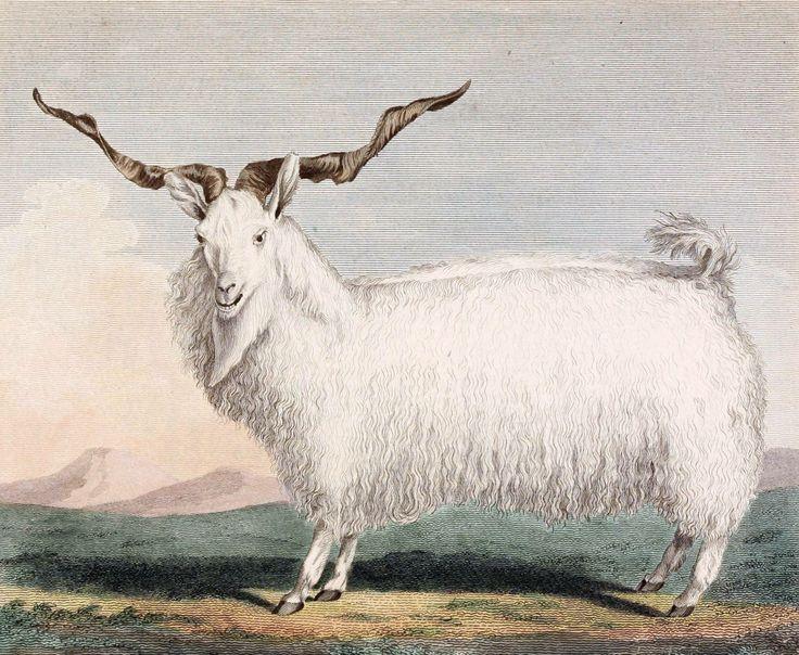 Koza angorska /Capra angorensis, Angora goat/ (Shaw 1792)