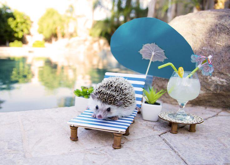 hedgehog by the pool
