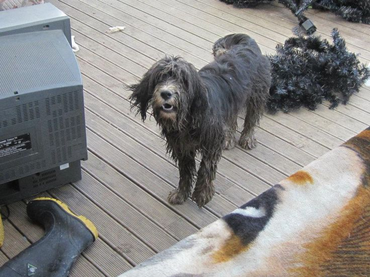 Minty Moo - the craziest dog I have ever known - doe as she pleases - full steam ahead