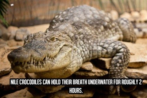 Awesome Facts About Life (18) Nile crocodiles can hold their breath underwater for roughly 2 hours...