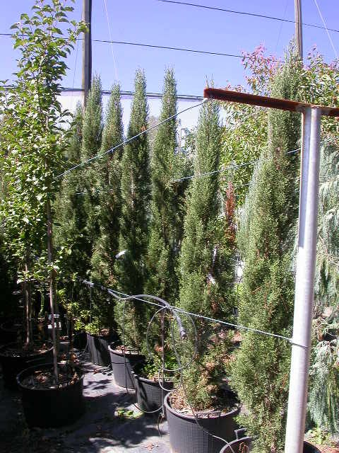 Winter Hill Tree Farm: Pencil Pine Cypress — Cupressus sempervirens Glauca