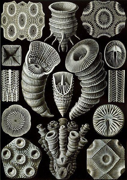 Haeckel illustration: Tetracoralla