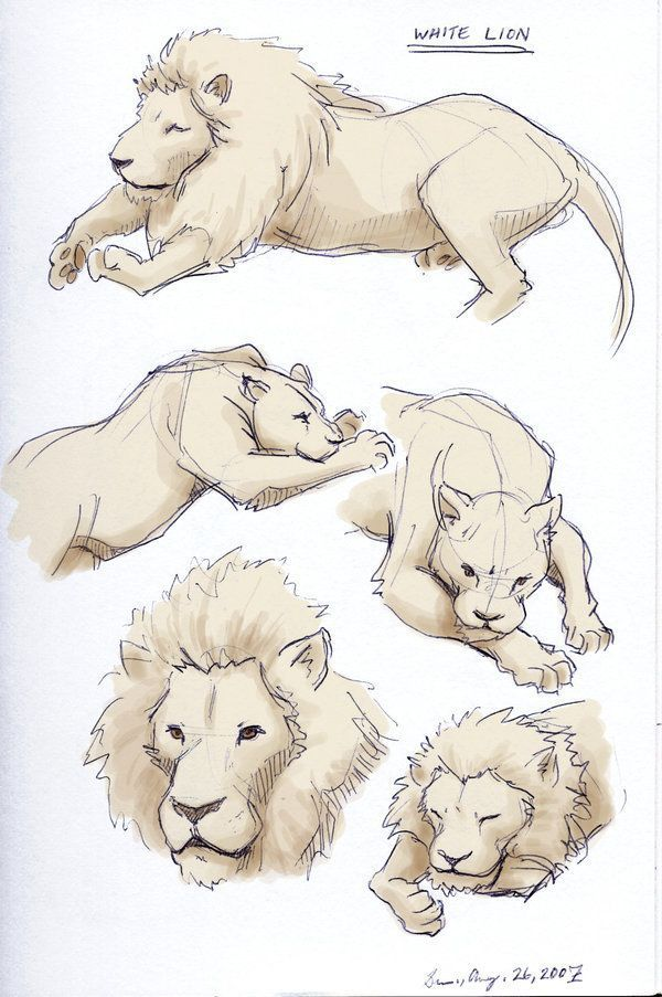 How To Draw A Lioness : lioness, Drawingfusion.com, Sketch,, Illustration,, Animal, Sketches