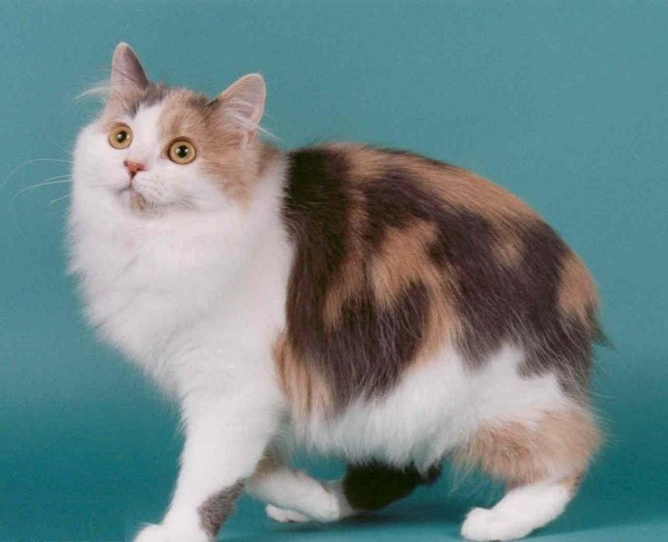 sweet cymric cat pictures.    Cymric Cat is a breed of domestic cat. Some cat registries consider the Cymric Cat simply a semi-long-haired variety of the Manx breed, rather than a separate breed.  #Cymric #Cat #Breed #CymricCat #CymricKittens