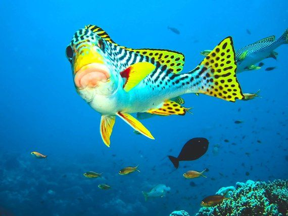 Tropical Fish Portrait Large Wall Art Underwater Photography Tropical Photo Coral Reef Decor Blue Ocean Decor Large Wall Art Underwater Photography Underwater Tropical Fish