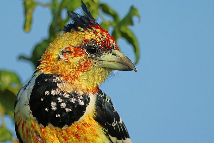One of the more colourful residents of the Lowveld, the crested barbet is able to call almost indefinitely by using one of its bronchial tubes to breathe in and out while using the other tube to vocalise. Photograph by Anthony Goldman