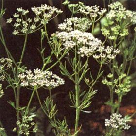 ANIS i gruppen Krydd- och Medicinalväxter / Medicinalväxt hos Impecta Fröhandel (3010)