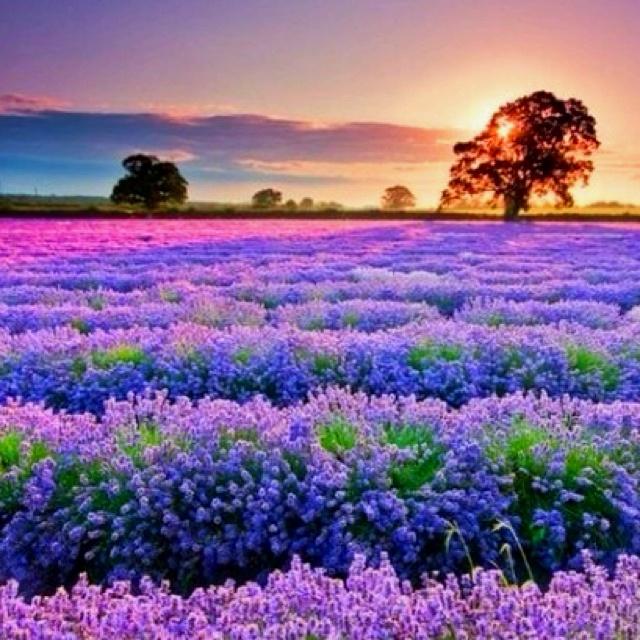 lavender  Provence  France  sunset