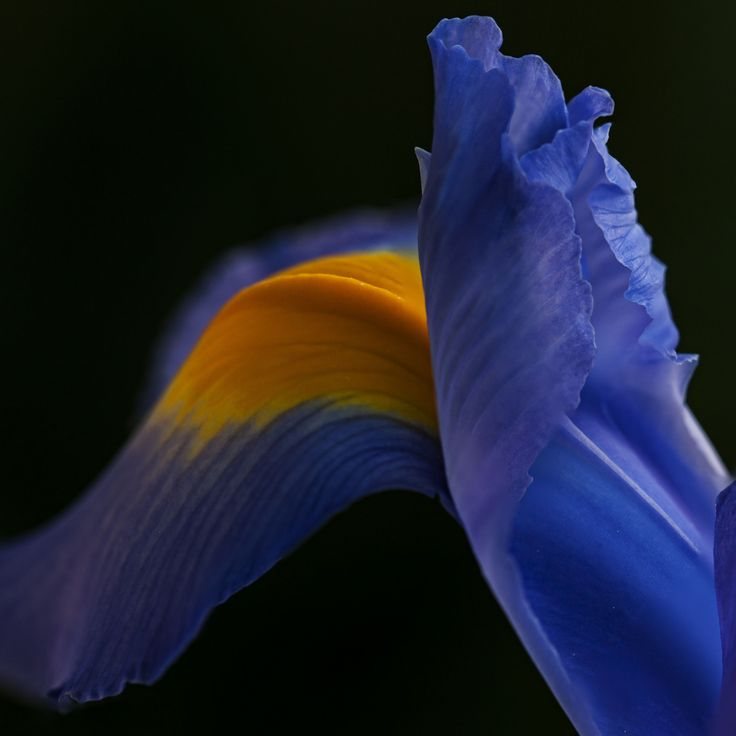 In Japanese culture, the iris flower is revered for its purifying properties. In Japan, a common iris definition includes the idea of purifying evil energies and protecting those who wear it. The iris flower is a common symbol found in kimono fabrics, as well as in paintings and the short Japanese poetry style known as haiku.