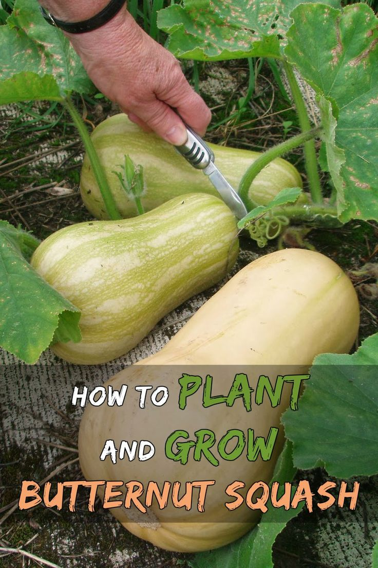 Article - Butternut squash is relatively easy to grow. Its growing season begins during summer for harvest in autumn. Butternut Squash plants are tender and the seedlings will basically freeze with the slightest frost and seeds will only germinate in warm soil.