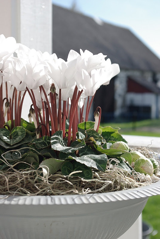Cyclamen;  I have these in container surrounded by blue pansies.. Love the combination