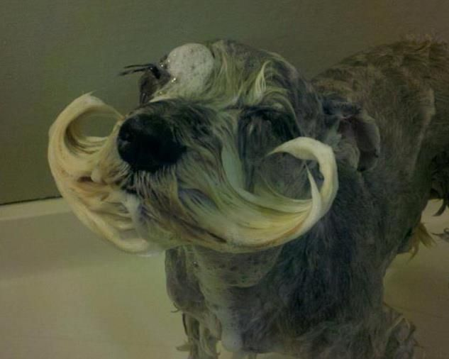 Bathtub beard fun Oh the things you can do with a soap and a Schnauzie beard!