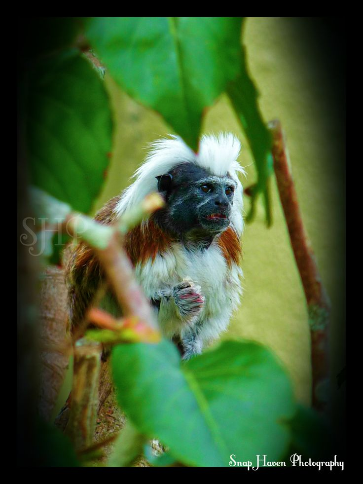 Cotton-Top Tamarin Auckland Zoo, New Zealand  www.facebook.com/snaphavenphotography
