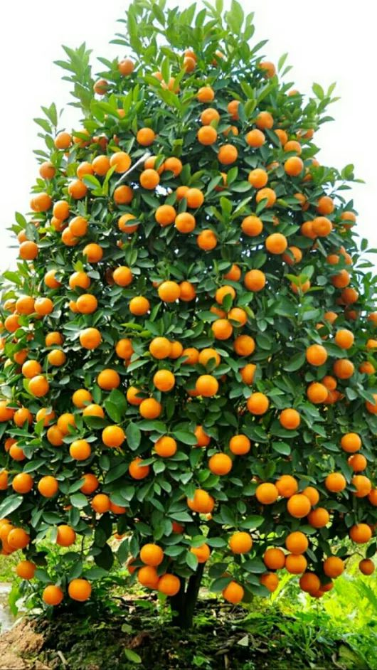 How cool would it be to have your own orange tree