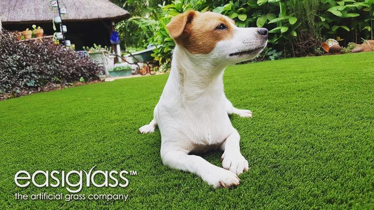 Pet friendly Easigrass. Contact us today for your free no obligation quote today... http://ift.tt/2eWz70K or somersetwest@easigrass.co.za or  0212001457 #easigrass #syntheticgrass