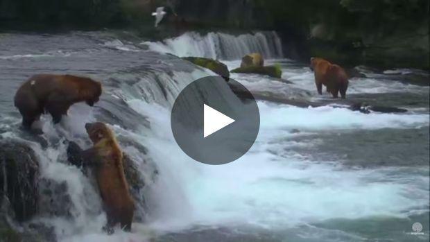 Lorsque deux ours bruns se disputent pour attraper le même poisson, il y a toujours un vainqueur et un vaincu
