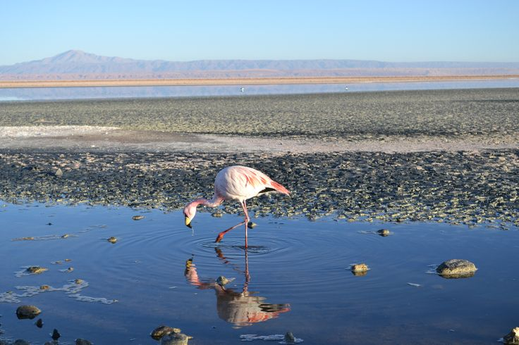 Flamingo na Laguna Chaxa, Salar do Atacama, Chile
