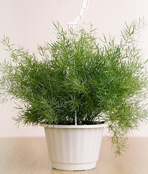 the asparagus fern also called emerald feather emerald fern sprengeri fern plumosa fern or. Black Bedroom Furniture Sets. Home Design Ideas