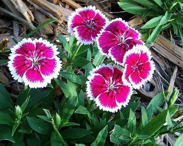 Dianthus chinensis - Knupper's Nursery & Landscape - Gallery