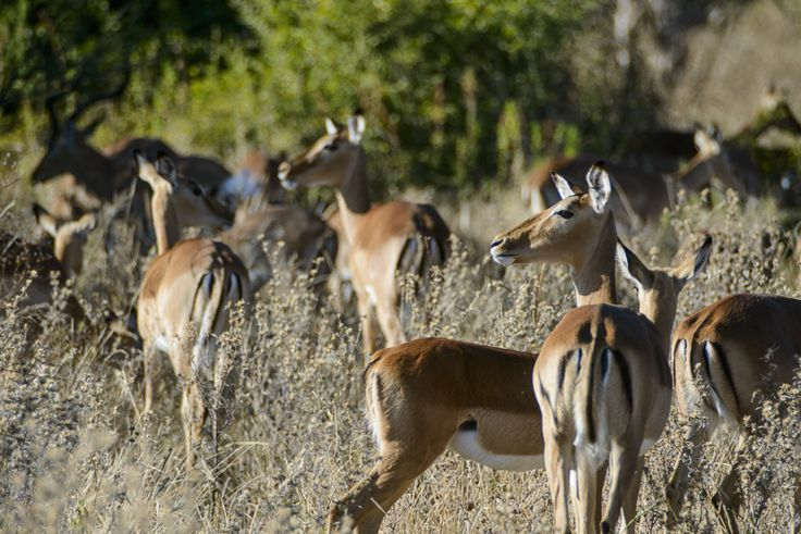 Pretty impalas. Chobe Game Lodge, Chobe Botswana // Dominic Loneragan for Match + Feather