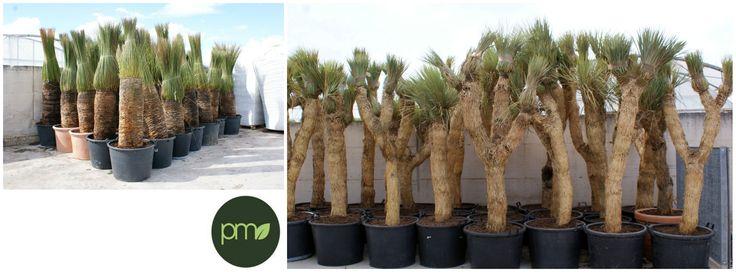 Mexico never seen before: yucca rostrata, dasylirion longissimum.