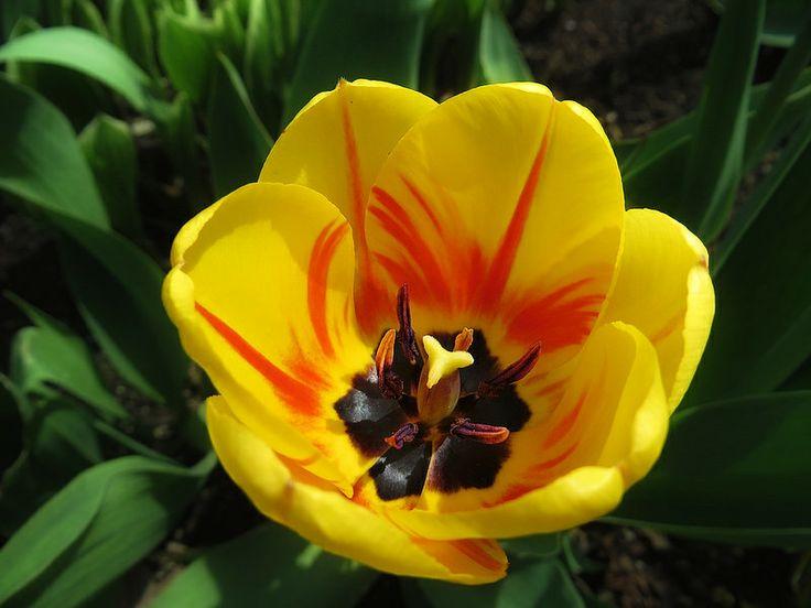 Yellow-Tulip-2014