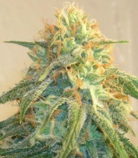 What are the best marijuana strains for beginners?  What Medical Marijuana Strain is Right For Me?
