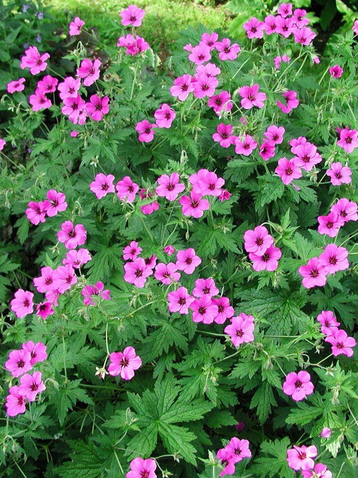 Näva, Geranium 'Patricia' | Rödvioletta blommor i stor mängd. Tuvbildande perenn. Flikigt och frodigt bladverk. Tämligen anspråkslös men undvik alltför torra lägen. Blommar juni-september. Vacker i sällskap av gråbladiga växter och de som blommar i bordeauxrött. T.ex. havtorn 'Hicul', lammöron och blodtopp.