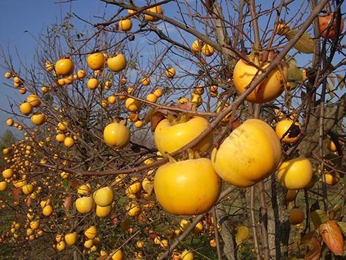 Winterharte Kaki Bäume im online shop::: Am besten pflanzt man Kakis im Frühherbst. Die Pflanzen können dann noch gute Wurzeln bilden und kommen damit besser durch den Winter. Der Boden sollte humos und tiefgründig sein. Staunässe vertragen die Bäume allerdings überhaupt nicht. Ansonsten stellt der Baum keine hohen Ansprüche, ist recht pflegeleicht und auch nicht anfällig für Krankheiten, Pilze oder Schädlinge. Der Baum sollte alle zwei Wochen mit einem organischen Dünger gedüngt werden.