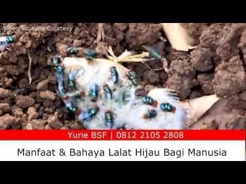 Lalat Hijau - Manfaat Lalat Hijau  - Bahaya Lalat Hijau Bagi Manusia