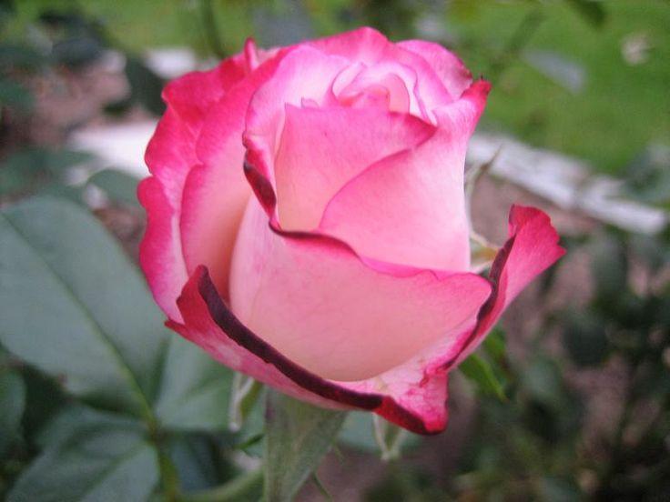 die besten 25 rosenstecklinge ideen auf pinterest wurzelnde rosen gartenabf lle und g rtnern. Black Bedroom Furniture Sets. Home Design Ideas