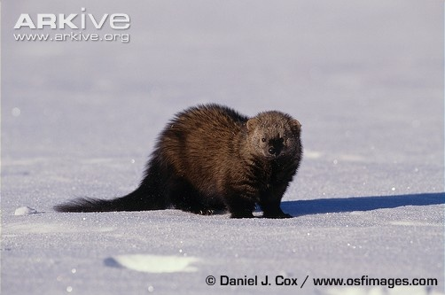 "This is a fisher or ""bear cat."" I have seen two of these in real life, but a lot of sign they are near. They are a natural enemy of porcupines.Mammals, Image, Fisher Photos"